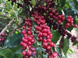 [Produção de café da agricultura familiar na Bahia conquista mundo]