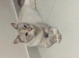 [Gato bem cuidado dos olhos azuis é encontrado perto da Famec]
