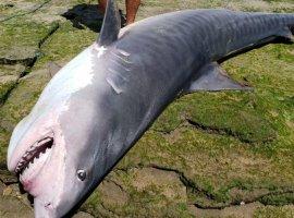 [Tubarão é retirado vivo do mar por populares. Veja vídeo!]