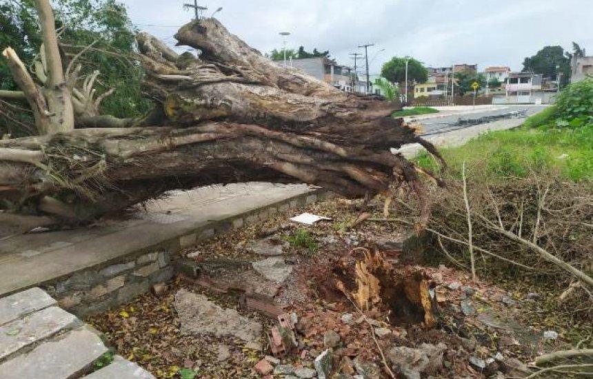 Vento derruba árvore de grande porte no bairro dos 46 1