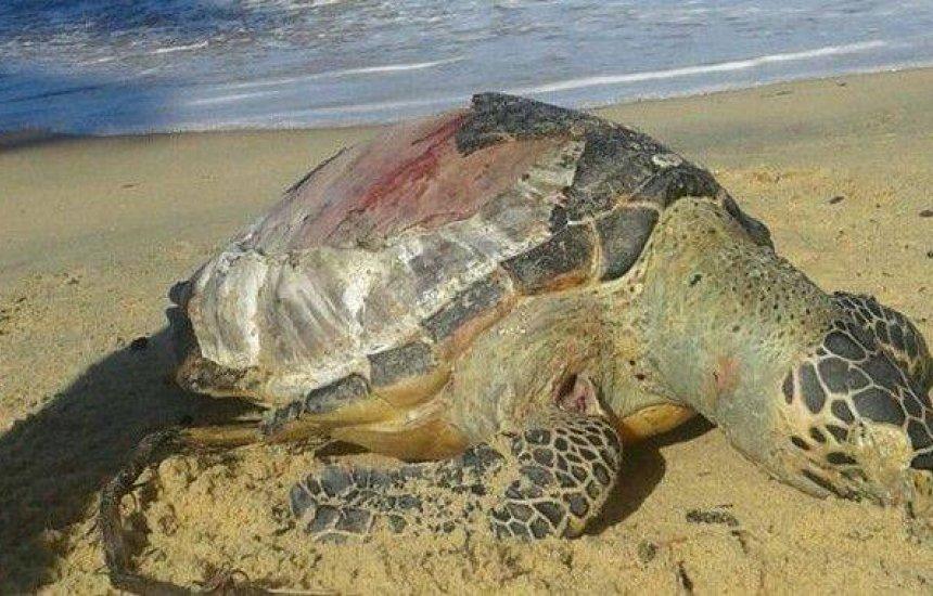 [Natureza: 84 tartarugas mortas no Sul da Bahia este ano]