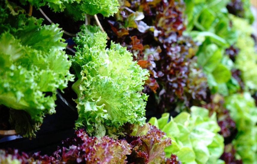 [Conheça as propriedades nutricionais e principais benefícios da alface]