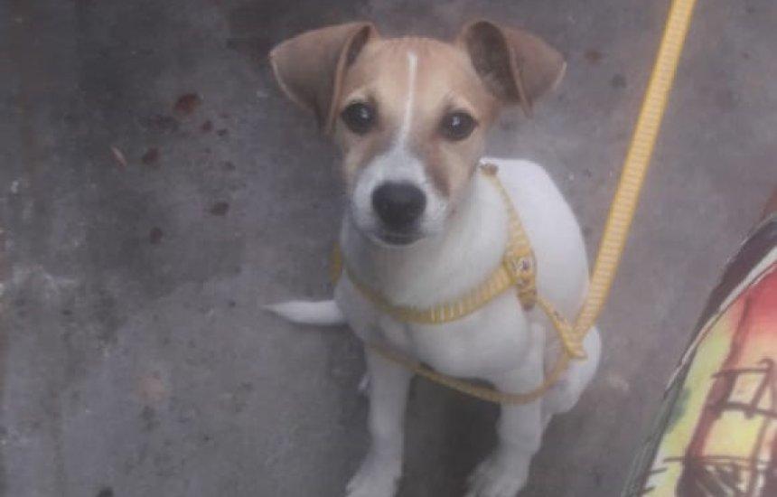 Procura-se cadelinha desaparecida no Gravatá