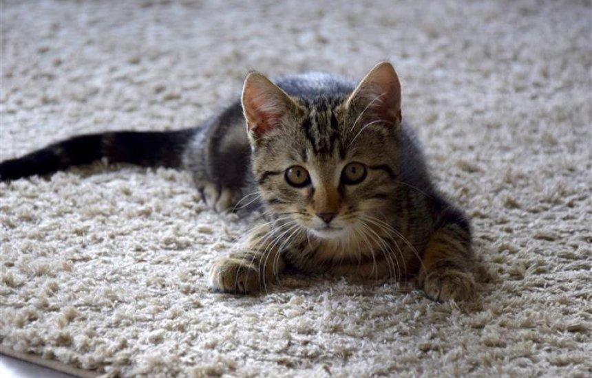 [Primeiro caso de gato com COVID-19 no Brasil é confirmado]