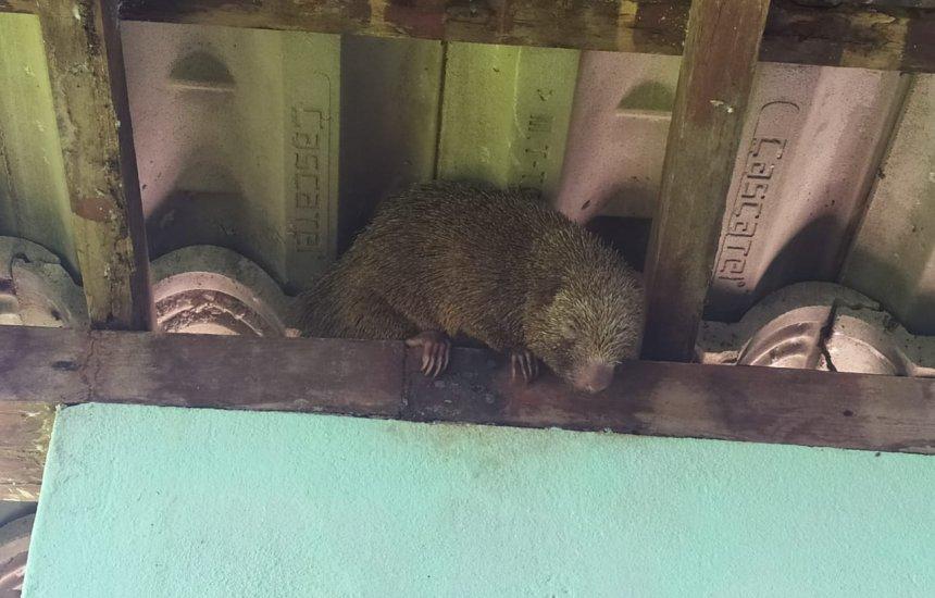 [Defesa Civil captura ouriço-cacheiro na orla de Camaçari]