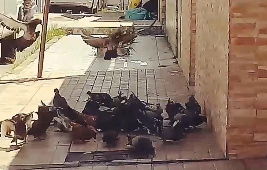 [Morador reclama de infestação de pombos na Gleba B]